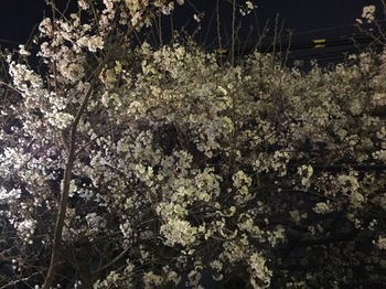 2016Mar31-Sakura - 1.jpg