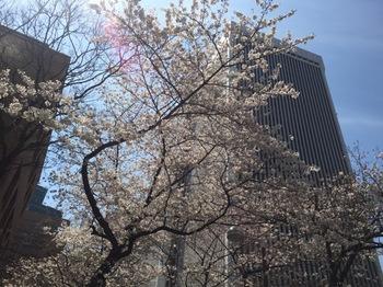 2017Apr5-Sakura1 - 1.jpg