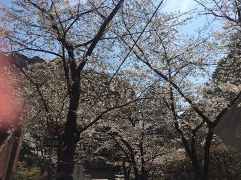 2017Apr5-Sakura2 - 1.jpg