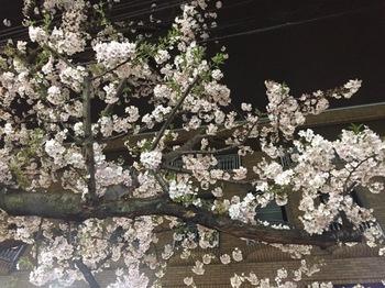 2017Apr6-Sakura - 1.jpg