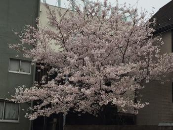 2017Apr8-Sakura10 - 1.jpg