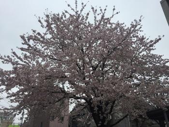 2017Apr8-Sakura2 - 1.jpg