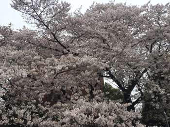 2017Apr8-Sakura3 - 1.jpg