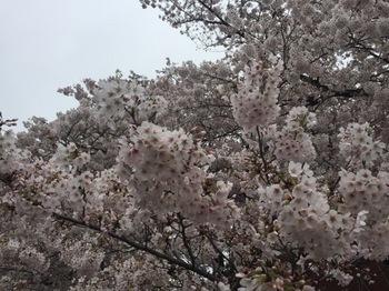 2017Apr8-Sakura4 - 1.jpg