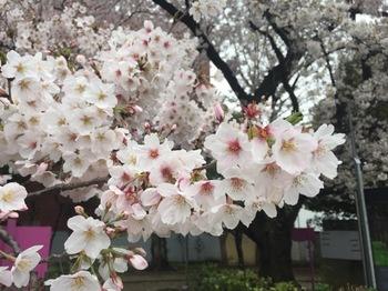 2017Apr8-Sakura5 - 1.jpg