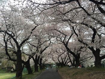 2017Apr8-Sakura8 - 1.jpg