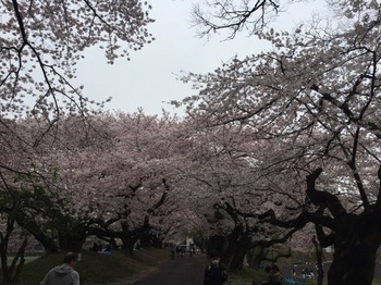 2017Apr8-Sakura9 - 1.jpg