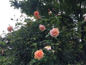 2017Jun25-Roses1 - 1.jpg