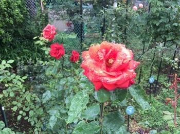 2017Jun25-Roses2 - 1.jpg