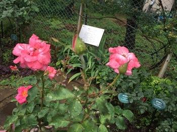 2017Jun25-Roses3 - 1.jpg