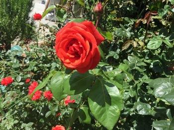 2017Jun4-Rose1 - 1.jpg