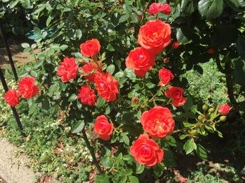 2017Jun4-Rose2 - 1.jpg