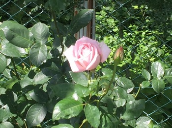 2017Jun4-Rose3 - 1.jpg
