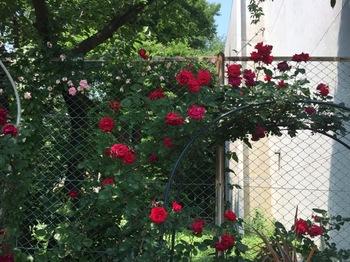 2017May20-Roses1 - 1.jpg