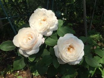 2017May20-Roses6 - 1.jpg