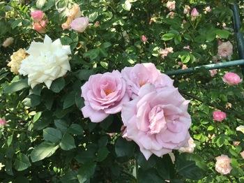 2017May20-Roses7 - 1.jpg