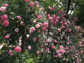 2017May21-Roses3 - 1.jpg