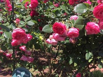 2017May21-Roses4 - 1.jpg