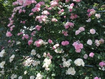 2017May27-Rose2 - 1.jpg