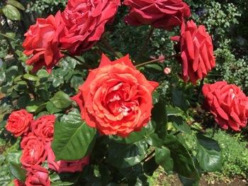 2017May27-Rose5 - 1.jpg