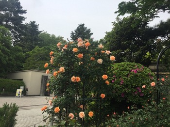 2017May7-Roses1 - 1.jpg