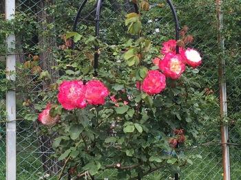 2017May7-Roses2 - 1.jpg