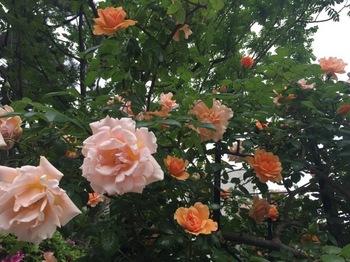 2017May7-Roses4 - 1.jpg