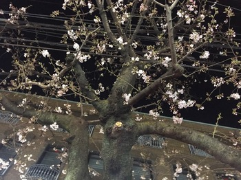 2017Mar30-Sakura - 1.jpg
